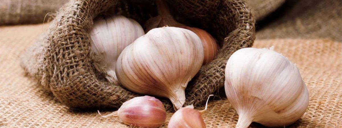 Выращивание чеснока как прибыльная бизнес-идея