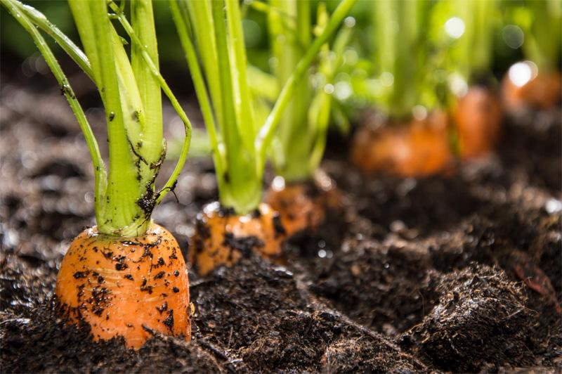 Изображение - Выращивание моркови как бизнес vyrashhivanie-morkovi-02