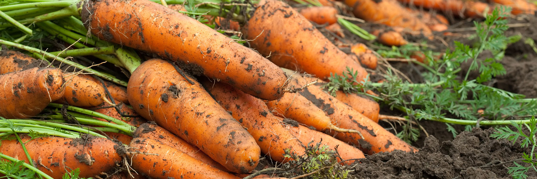 Бизнес на выращивании моркови 807